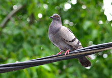 Pigeon On Power Cable
