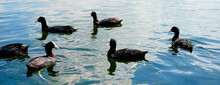 Coots On The Water