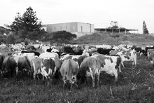A Herd Of Diary Cows Grazing P...