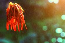 Orange Chrysanthemum Flower Is...