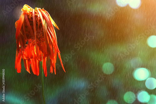 Fotografie, Obraz orange Chrysanthemum flower is wilting When the rain fall As people are lonely or heartbroken
