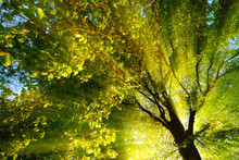 Majestic Rays Of Light Dramatically Illuminating The Branches And Foliage Of A Tree, With The Sun Behind The Silhouette Of The Trunk