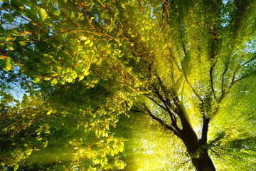 Fototapeta Drzewa Majestic rays of light dramatically illuminating the branches and foliage of a tree, with the sun behind the silhouette of the trunk