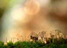 Close-up Of Fairy Inkcap (Coprinellus Disseminatus) Mushroom Growing In Forest
