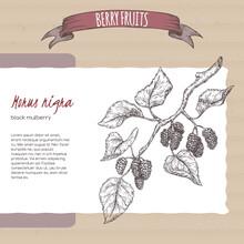 Black Mulberry Aka Morus Nigra Branch Sketch On Cardboard Background. Berry Fruits Series.
