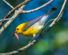 Prothonotary Warbler Taking Food To The Nest