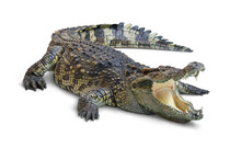 Large Crocodile Open Mouth Iso...