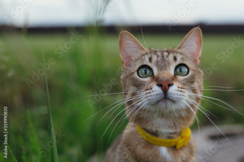 Approximate photos of the American Shorthair with yellow collar outdoors playing Canvas Print