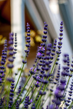 Purple Lavender Flowers In Gar...