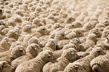Flock Of Sheep Fill The Frame