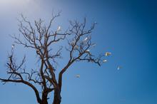 Sulfur Crested Cockatoos Leave...