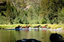Wild Brumbies Crossing The Guy Fawkes River