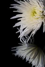 White Spider Bloom Chrysanthem...