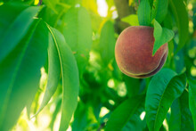 Red Peaches Growing On A Tree On An Orchard Farm