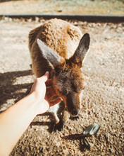 Patting A Kangaroo