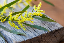 Native Wattle Blossom On Wood