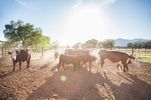 Backlit Cattle In Dusty Austra...