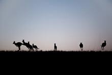 Silhouette Of Kangaroos Leapin...