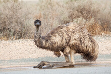 An Emu Sitting On A Road