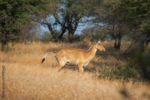 common eland gazing at ranthambore of rajasthan Canvas Print