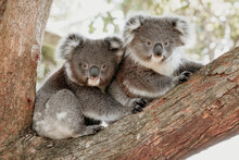 Two Koala Joeys Cuddle In A Tree.