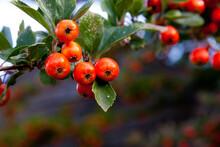 Orange Hawthorn Berries Close Up
