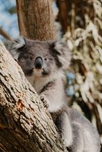 Koala Bear In A Gum Tree.