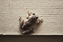 Small Brown Frog On A Wall