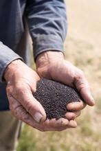 Man Holding Canola Seeds