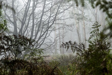 Foggy Trees And Forest Scene