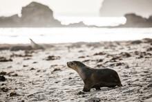 Sea Lion Walking Along Sand On...
