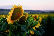 Sunflower Field At Allora