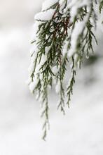 Green Pine Needles Draped In Snow