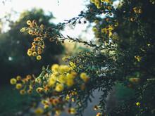 Acacia Pulchella Flowers