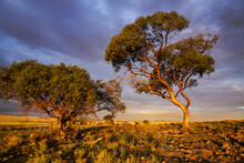 Scrubby Gum Trees Lit By Golde...