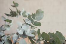 Eucalyptus Gum Leaves, Native Plants