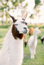 Portrait Of White Llama With B...