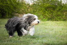 Crazy Bearded Collie Is Runnin...