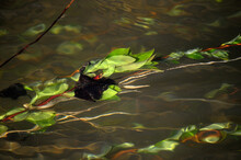 Submerged Plant In River