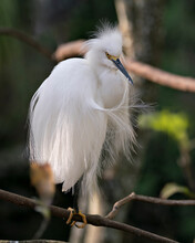 Snowy Egret Bird Stock Photos. Image. Portrait. Picture. Beautiful White Fluffy Feathers Plumage. Perched On A Branch With Bokeh Background. Cleaning Feathers. White Color.