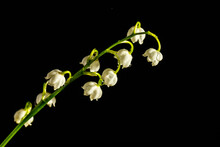 Lily Of The Valley On Dark Woo...
