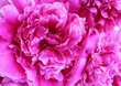 canvas print picture - Pink peony close-up. A solid background of the petals.