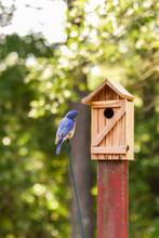 American Bluebird Male Appeari...