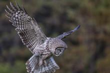 Flying Great Gray Owl