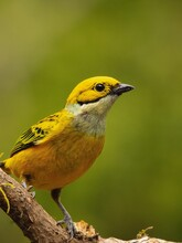 Yellow Tanager On A Branch