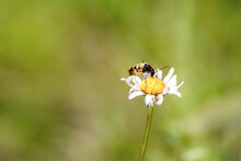 Rutpela Maculata. The Spotted Longhorn, Is A Beetle Species Of Flower Longhorns. Beetle On A Camomile Regales Pollen.