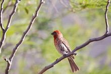 Male House Finch Perched On Ba...