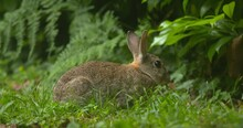 Wild Rabbit Eating A Green Leaf Sitting In Forest Grass