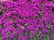 canvas print picture - pink fuchsia bougainvillea background