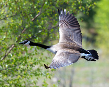 Canadian Geese Stock Photos.  ...